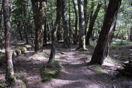 Greenstone Track. Meandering among the trees