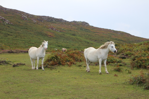 Ponies on the Pembrokeshire Coastal Path