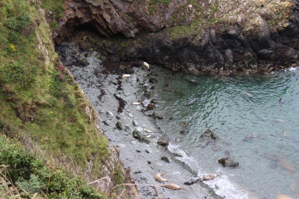 Seals off the Pembrokeshire Coastal Path