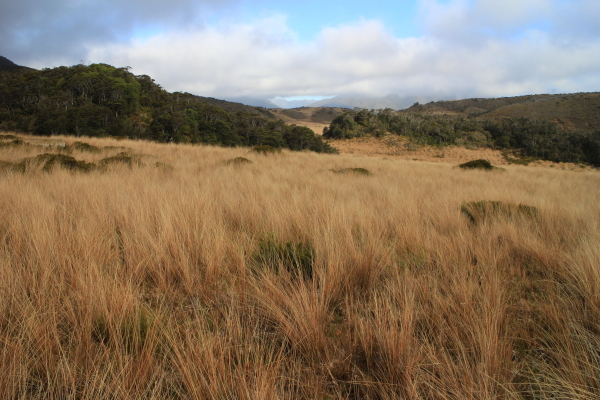 Heaphy_tussock